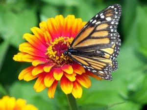 monarch-18140_640